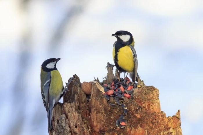 Кормушку надо постоянно пополнять новыми семенами и зёрнами, иначе привыкшие в ней птицы в холода без корма погибнут