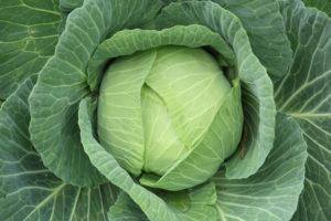 При квашении следует отдавать предпочтение средне и позднеспелым сортам капусты