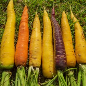 У сортов жёлтой моркови корнеплоды богаты высоким содержанием водорастворимого бета-каротина