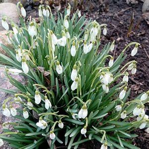 Если подснежники раскрывают свои цветочки - будет хорошая погода; закрывают и никнут — приближается ненастье