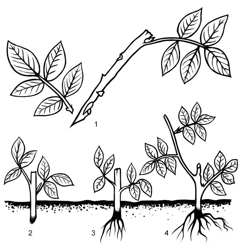 Схема 1. Размножение розы черенками: 1 - нарезка черенка; 2 - черенок в момент посадки; 3 - черенок через 4 недели после укоренения; 4 - новое растение.