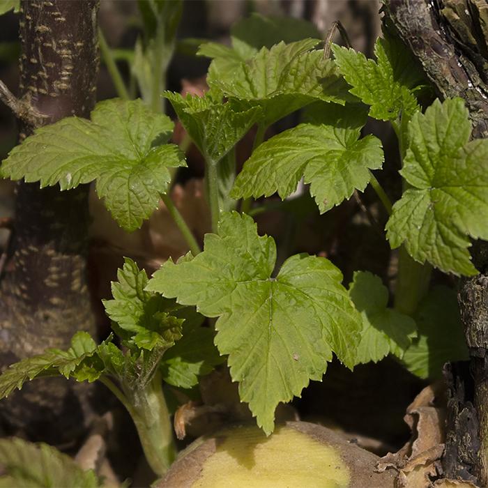 Только проведение комплесных мероприятий ранней весной, позволит собирать отличный урожай ягод