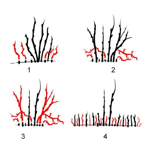 Схема 1. Обрезка куста чёрной смородины. 1 - Проводят каждый год, до 4-него возраста куста; 2 - Санитарная обрезка куста; 3 - Омолаживание куста; 4 - Первая вырезка старого куста.