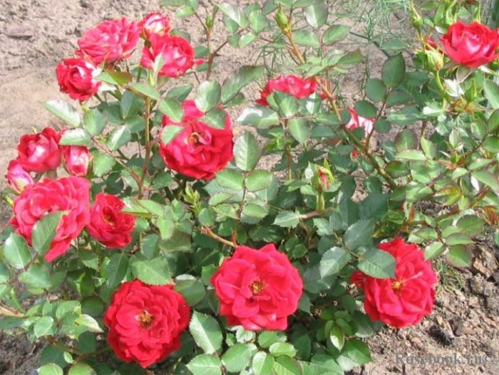 """Сорт розы """"Rose Maidy"""""""