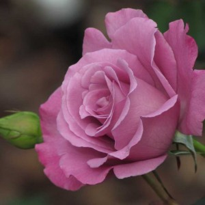 """Сорт розы """"Rosada"""""""