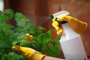 Вносить удобрения по листу или под корень надо осторожно, чтобы не перекормить рассаду или не допустить её ожога