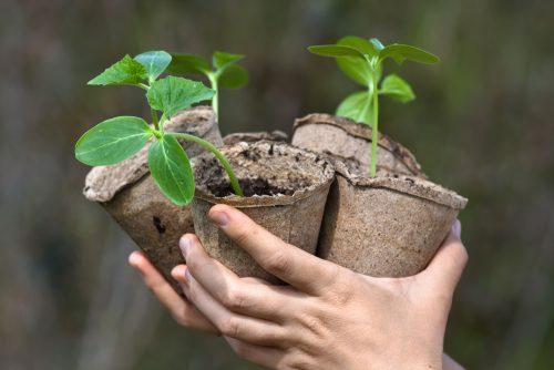 Огурцы рассадой выращивают для более раннего созревания урожая