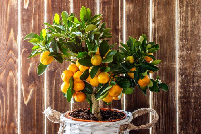 Цитрусовые растения в доме благоприятно влияют на психологическое состояние детей и взрослых