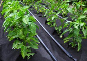 Удобрять перцы народными методами можно и после высадки в грунт