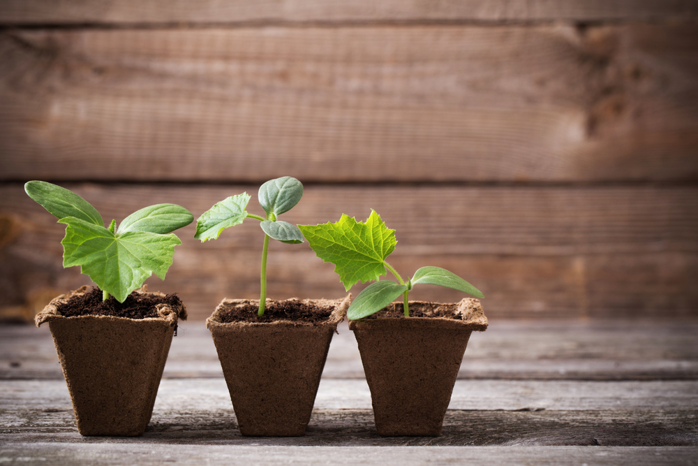 Сроки выращивания рассады зависят от того, где и как будут размещаться огурцы
