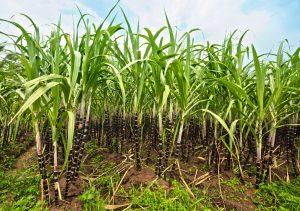 Плантации сахарного тростника можно увидеть в Бразилии, Индии, Китае, на Кубе