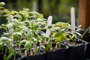Фосфорно-калийные удобрения вносят для правильного развития томатов, плодовитой завязи в будущем