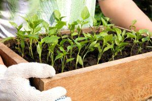 Второй этап удобрения рассады перцев происходит после пикирования растений