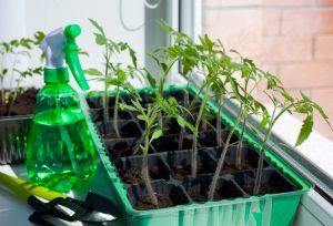 Чем подкормить рассаду томатов? Этот вопрос важен при первых признаках увядания молодых растений