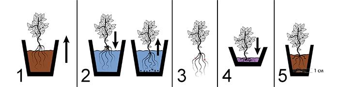 Схема 1. Этапы пересадки цитрусовых растений: 1 - аккуратное извлечение растения из горшка; 2 - Очистка корней от материнского субстрата; 3 - осмотр и подрезка корней; 4 - Процесс обеззараживания в растворе марганцовки; 5 - Посадка растения в новый цветочный горшок.