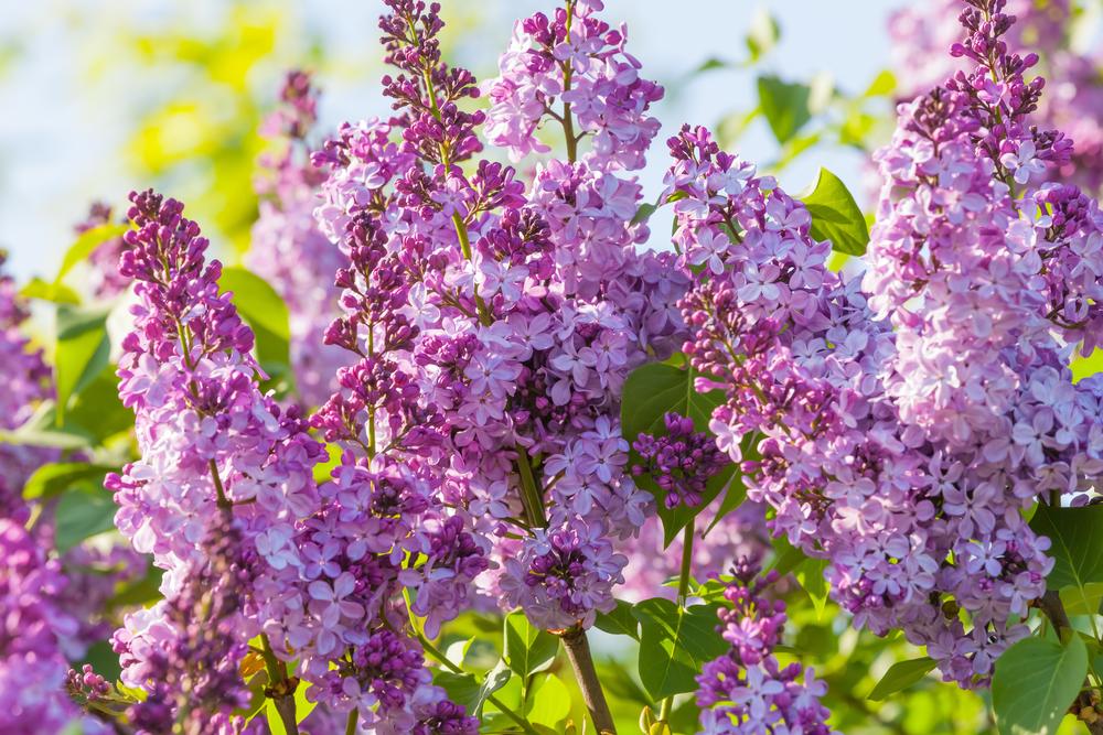 Сирень - самое роскошное украшение весеннего сада