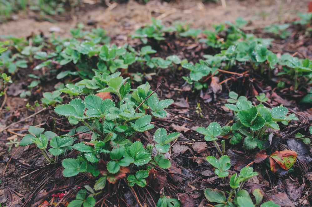 В праздничные майские дни надо успеть обработать садовую землянику