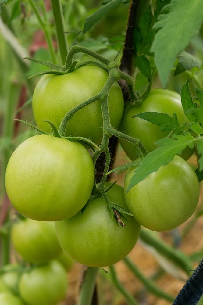 """Сорт томатов """"Полфаст F1"""" скороспелый и высокоурожайный"""