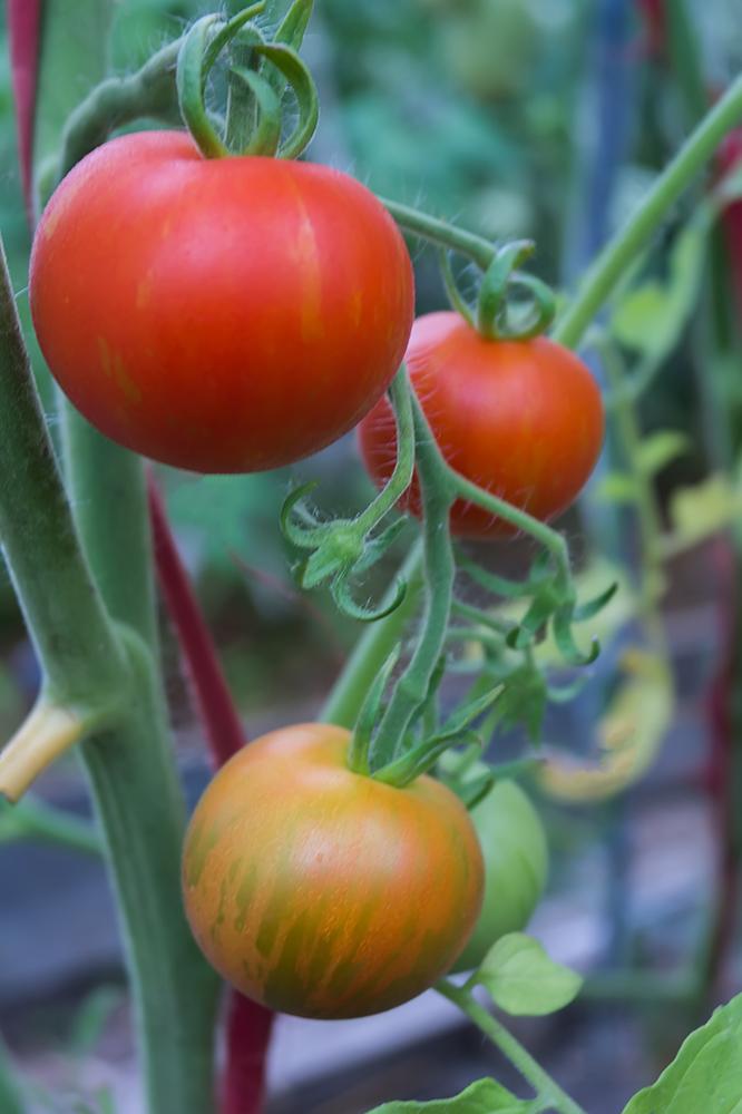 """Продуктивный сорт томата """"Непас 10"""" рекомендуют для выращивания в открытом грунте"""