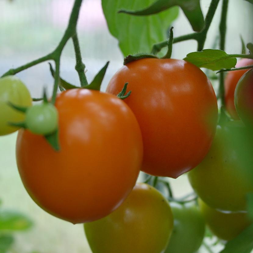 """Продуктивные сорта томатов группы """"Непас"""""""