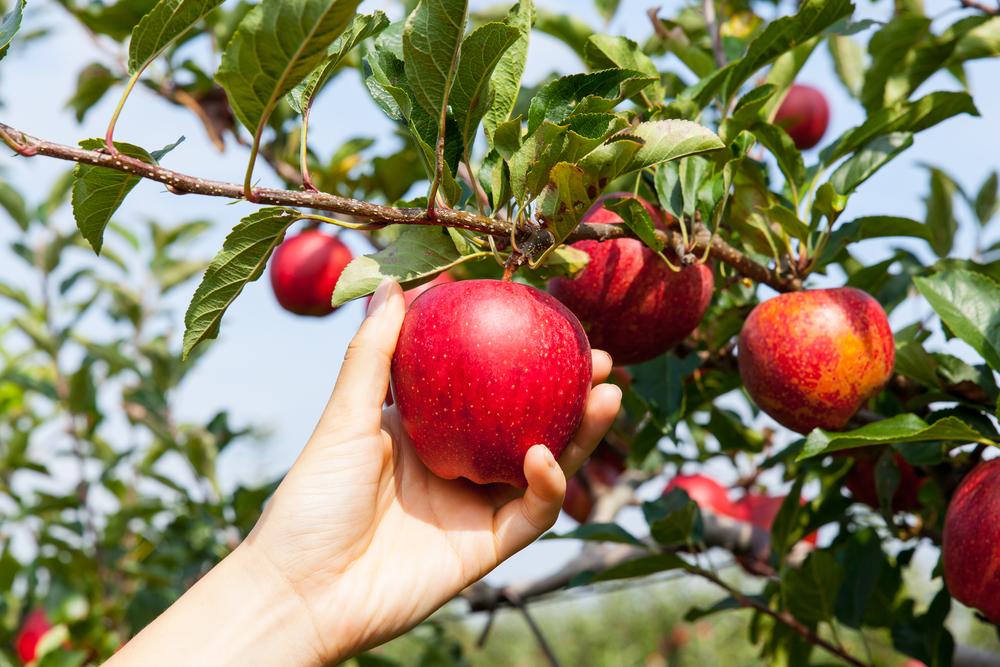 Собирайте яблоки в сухую погоду, чтобы они не были влажными