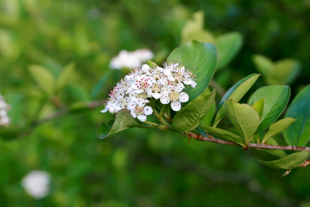 Куст черноплодки красиво цветет весной, поэтому его используют и как украшение участка