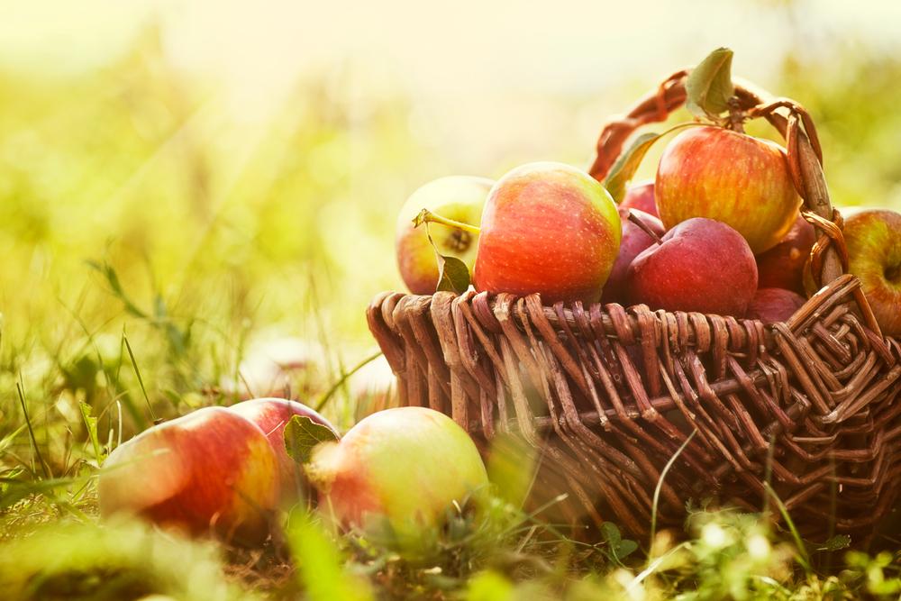 Переработать можно даже чуть подпорченные яблоки — собирайте их тоже