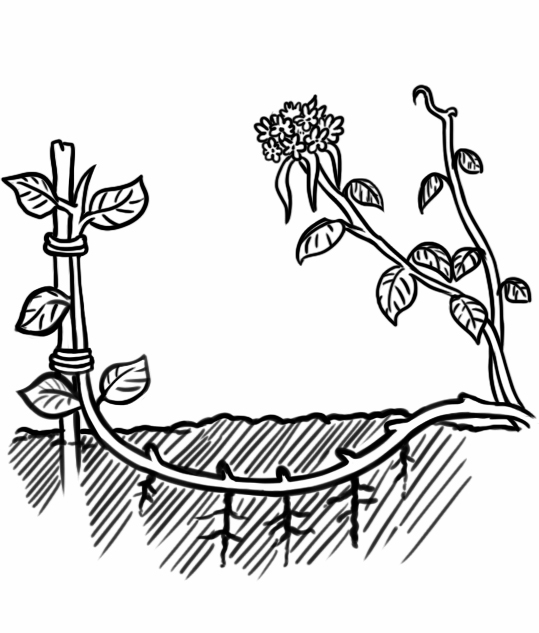 Размножение гортензии метельчатой