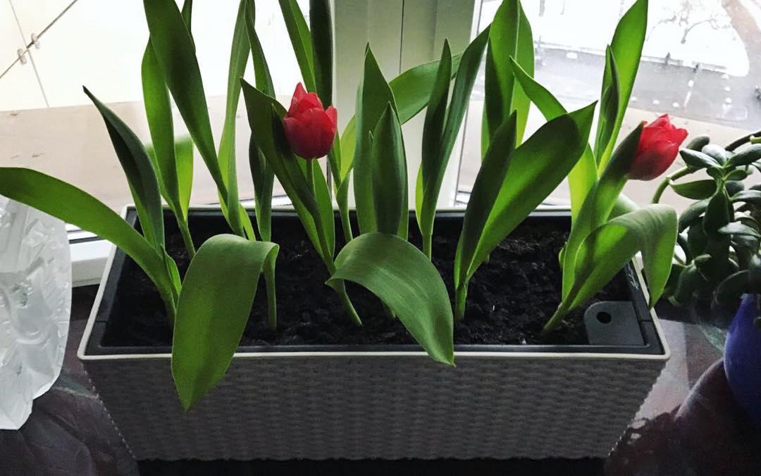 Лолита Милявская выращивает на окне тюльпаны