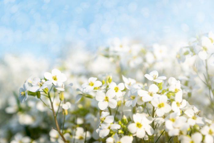 почвопокровные растения, резуха кавказская