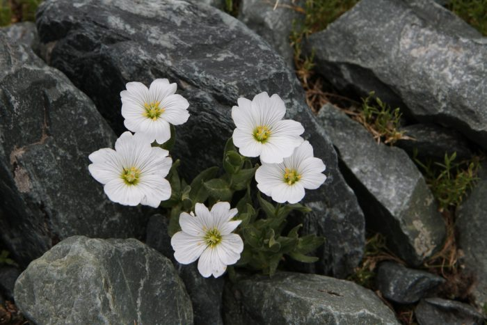 почвопокровные растения, ясколка