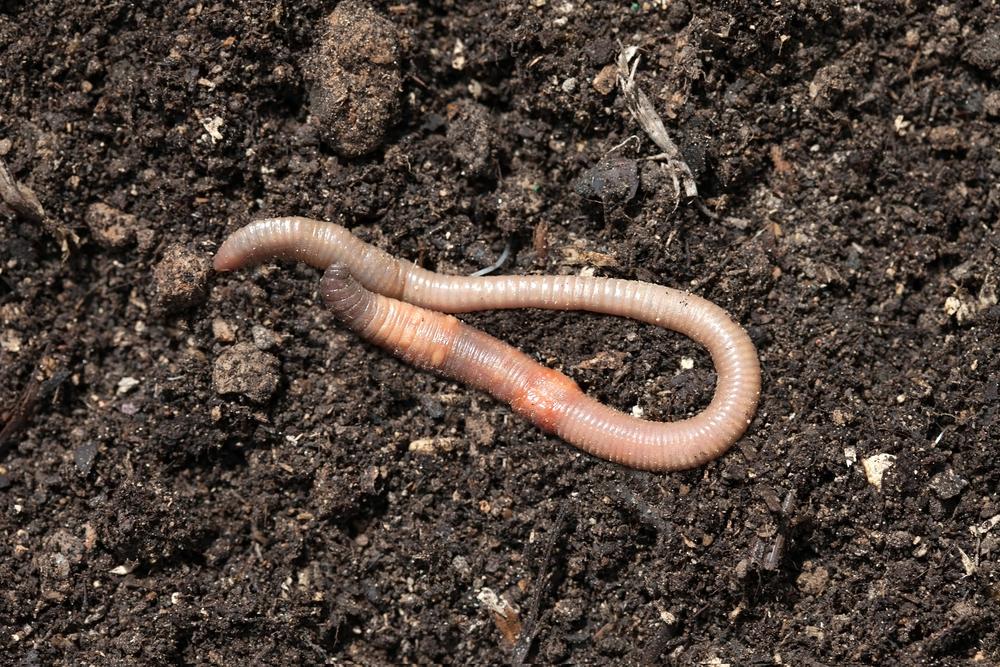 как привлечь дождевых червей на приусадебный участок