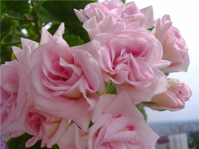 Millfield Rose Пеларгония розебудная