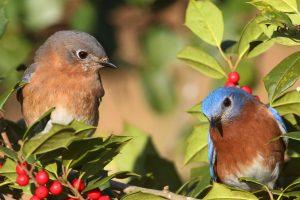 Птицы на кусте с ягодами