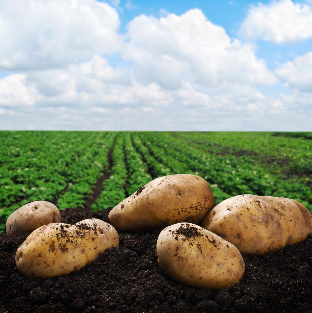 картофель на черноземе