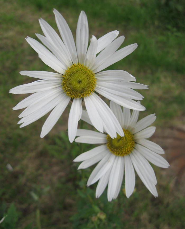Хризантема поздняя или левкантемелла