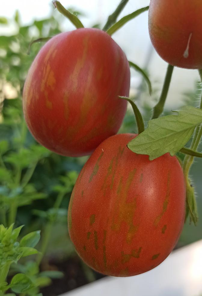 """Сорта урожайных томатов сезона 2020. Сорт """"Пасхальное яйцо"""""""
