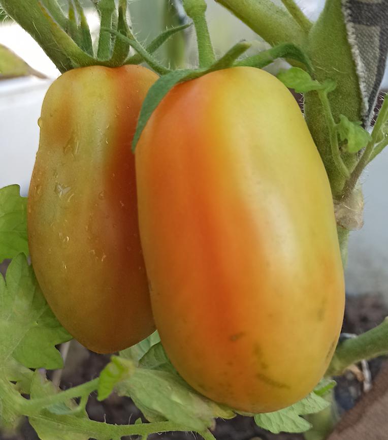 """Сорта урожайных томатов 2020 года. Сорт """"Французский гроздевой"""""""