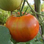 """Сорт томатов открытого грунта """"Медвежья лапа"""""""