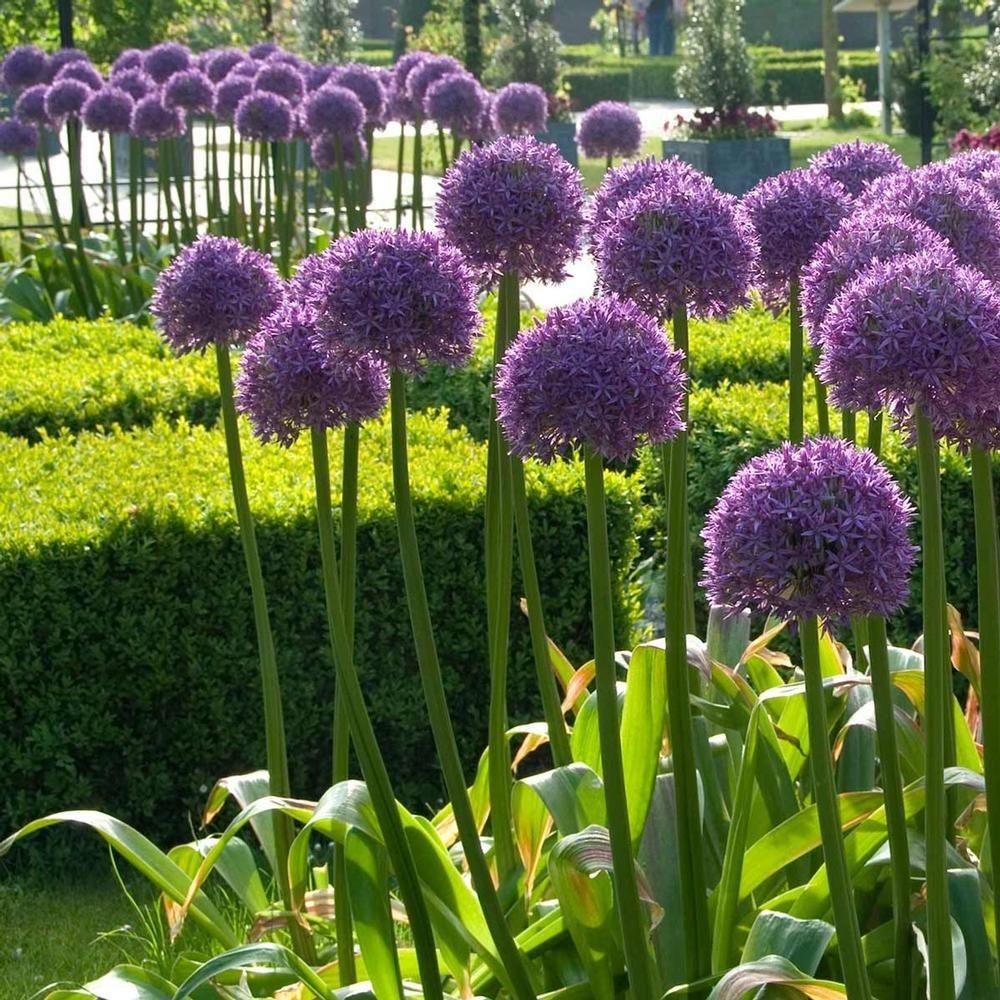 Глоубмастер - очень высокое и долгоцветущее растение радует все лето