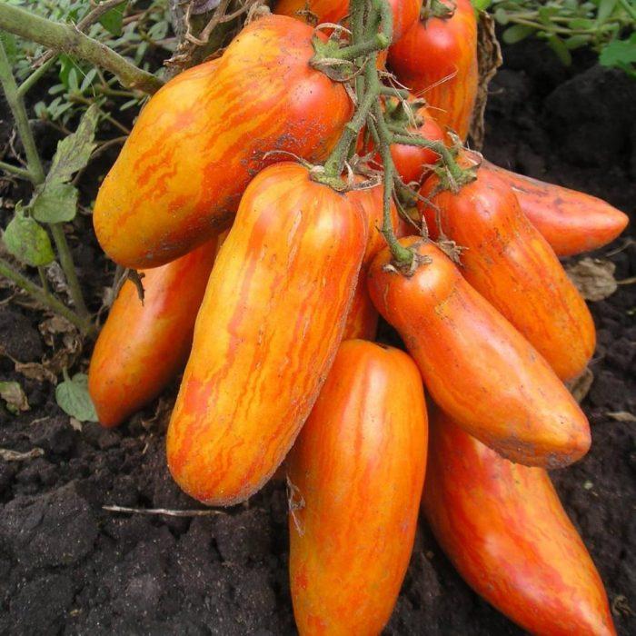Сорт Перцевидный полосатый имеет необыкновенную расцветку
