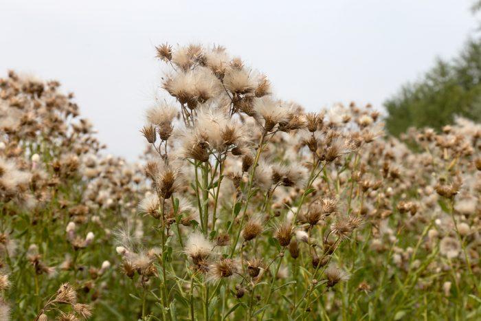 серпуха венценосная, семена