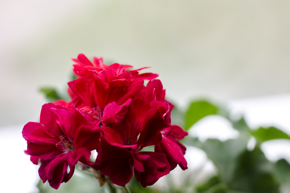 Цветок пеларгонии на окне