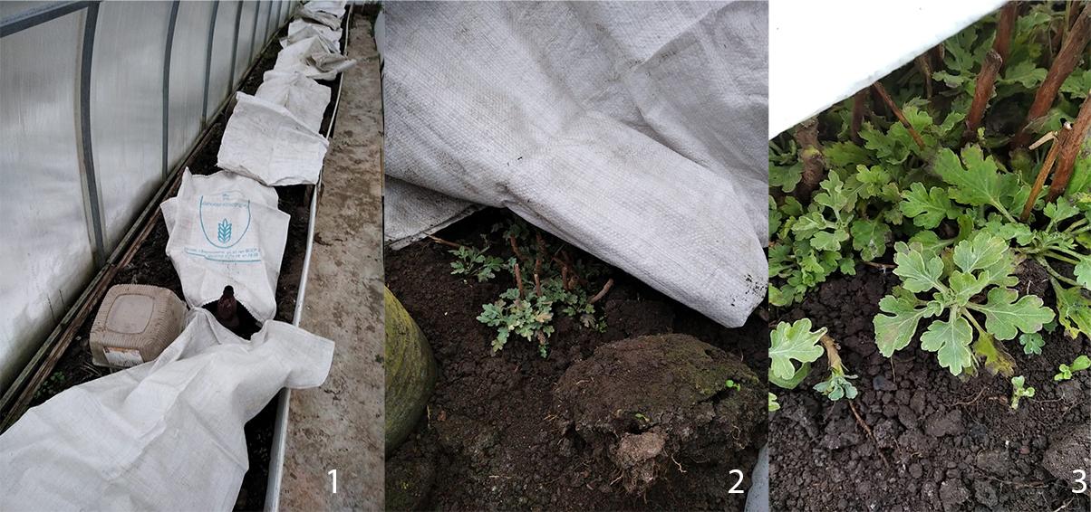 Правила и уход за хризантемами в зимний период