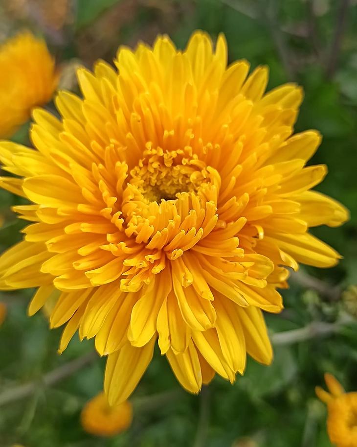Агротехника выращивания хризантем. правила и уход