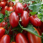 ранние урожайные сорта томатов сезона 2021