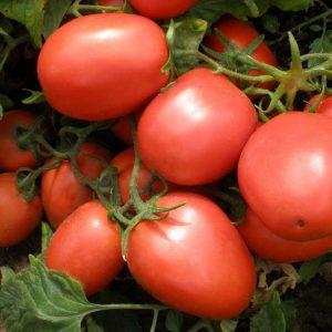 Ультраранние сорта томатов сезона 2021 года