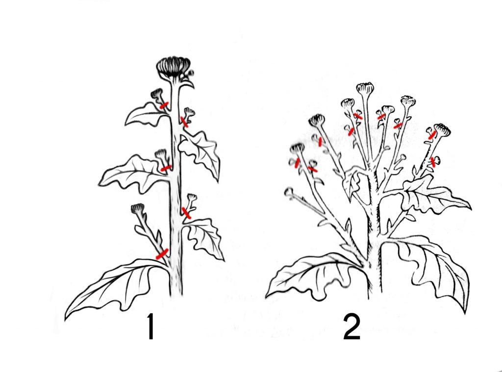 Агротехника выращивания хризантем