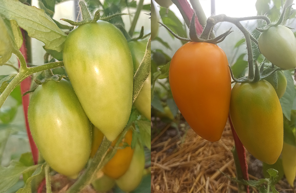 "томаты сорта ""Лисичка"""