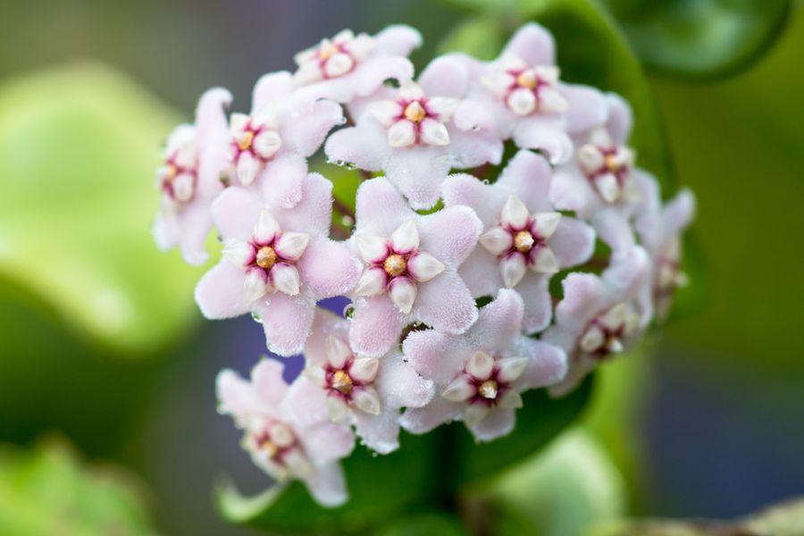 хойя цветок